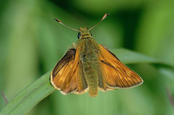 Skipper Photograph - Large Skipper Butterfly by Andy Davies/science Photo Library