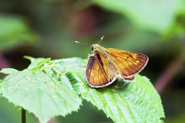 Skipper Photograph - Large Skipper Butterfly by John Devries/science Photo Library