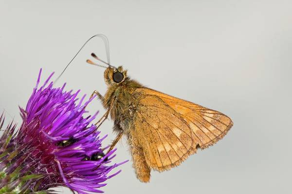 Skipper Photograph - Large Skipper Butterfly On Thistle Flower by Dr. John Brackenbury/science Photo Library