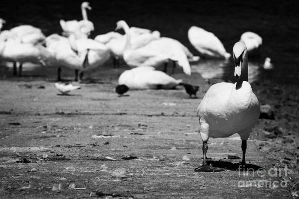 Wall Art - Photograph - Large Swan On Slipway Protecting Flock In Galway Bay by Joe Fox