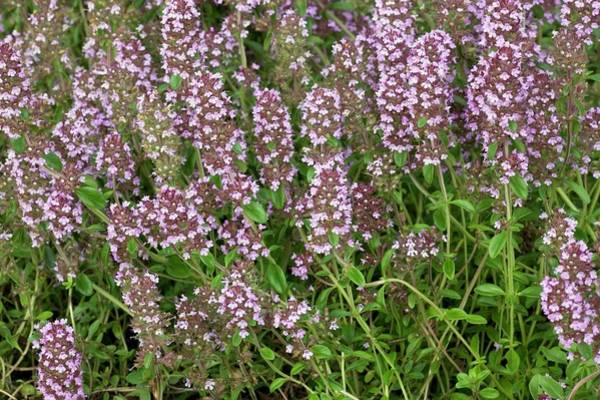 Thyme Photograph - Large Thyme (thymus Pulegioides) by Bob Gibbons/science Photo Library