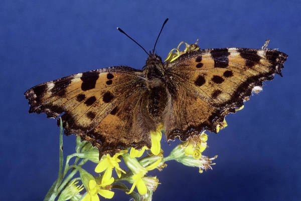 Tortoiseshell Photograph - Large Tortoiseshell Butterfly by M F Merlet/science Photo Library