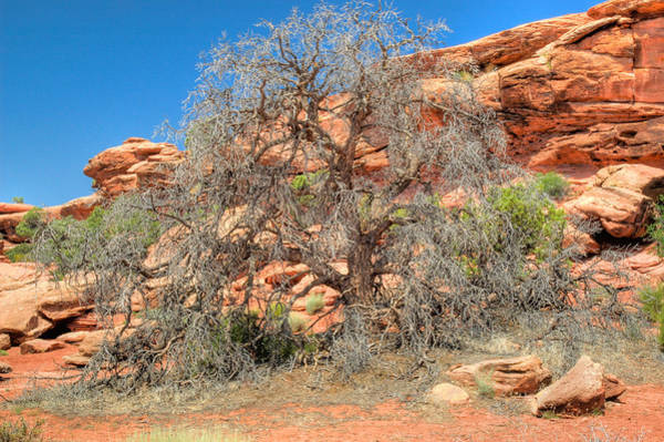 Photograph - Large Tree In Canyonlands National Park. by Rob Huntley