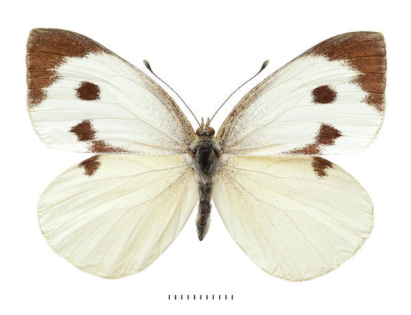 Pest Wall Art - Photograph - Large White by Natural History Museum, London