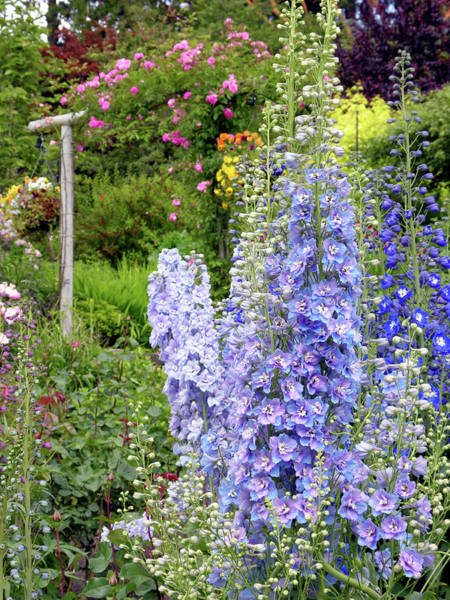 Wall Art - Photograph - Larkspur (delphinium Sp.) by Tony Craddock/science Photo Library