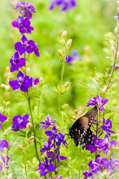 Photograph - Larkspur Visitor by Melinda Ledsome