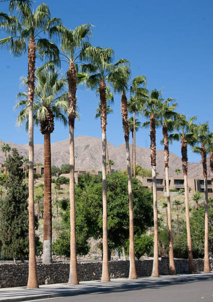 Photograph - Las Palmas Palms by Matthew Bamberg
