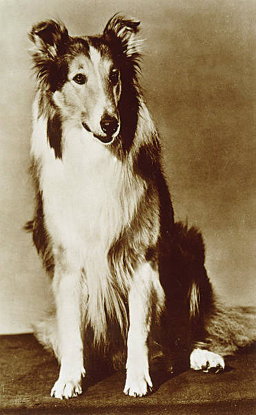 Wall Art - Photograph - Lassie (pal)  American Canine Actor by Mary Evans Picture Library