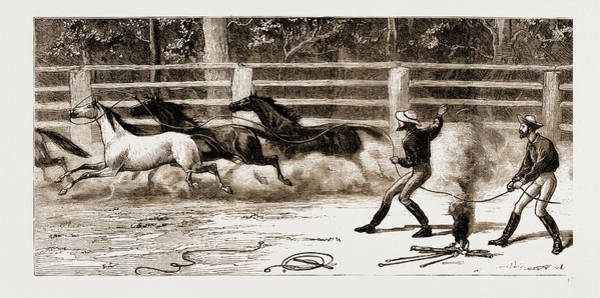 New South Wales Drawing - Lassoing Colts For Branding, New South Wales by Litz Collection
