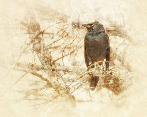 Blackbird Photograph - Last Call by Susan Capuano