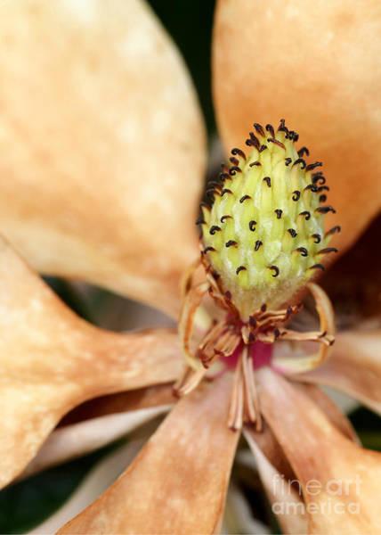 Photograph - Last Days Of A Magnolia by Sabrina L Ryan