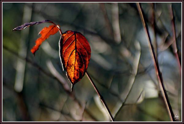 Photograph - Last Light Through Alder Leaves by Wayne King