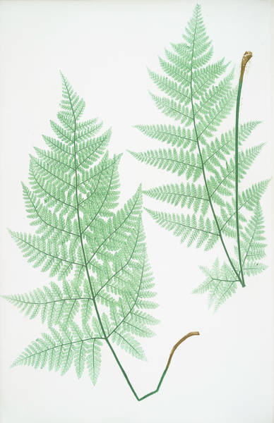 Organic Drawing - Lastrea Dilatata by Artokoloro
