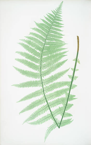Ferns Drawing - Lastrea Oreopteris by Litz Collection