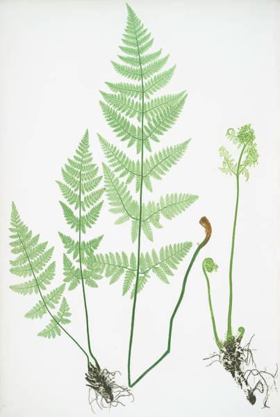 Organic Drawing - Lastrea Spinulosa by Artokoloro
