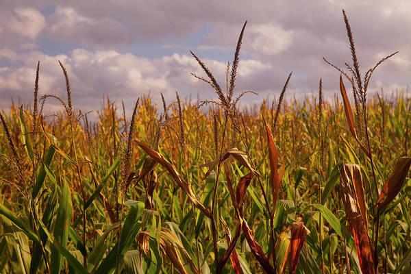 Tuscany Photograph - Late Fall Corn Fields, Tuscany by Caroyl La Barge