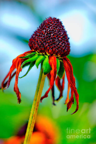 Photograph - Late Summer Flower by Michael Arend