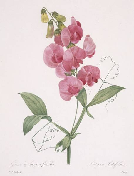 Elegant Drawing - Lathyrus Latifolius Everlasting Pea by Pierre Joseph Redoute