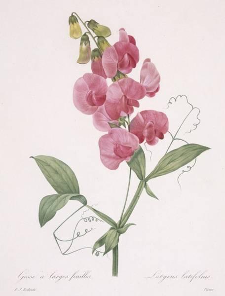 Stalk Drawing - Lathyrus Latifolius Everlasting Pea by Pierre Joseph Redoute