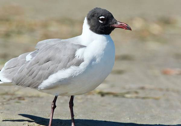 Birds Of Texas Photograph - Laughing Gull by Bob Gibbons/science Photo Library