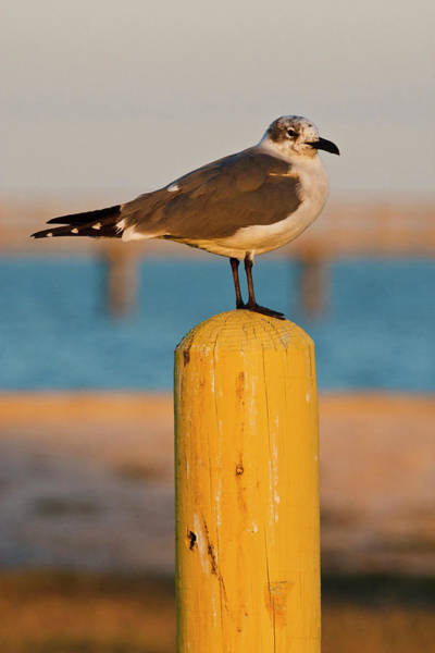 Fulton County Photograph - Laughing Gull (larus Atricilla by Larry Ditto