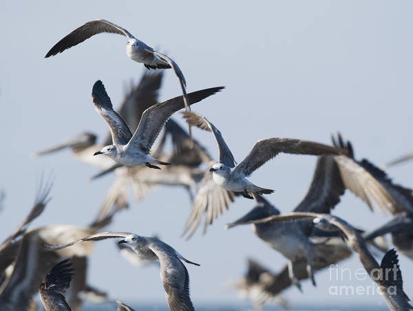 Photograph - Laughing Gulls by Dan Suzio