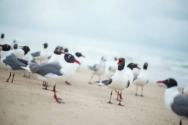 Birds Of Texas Photograph - Laughing Seagulls On Beach by Olga Melhiser Photography