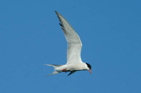 Photograph - Laughing Tern by Steve Myrick