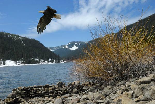 Photograph - Laurance Eagle by Arthur Fix