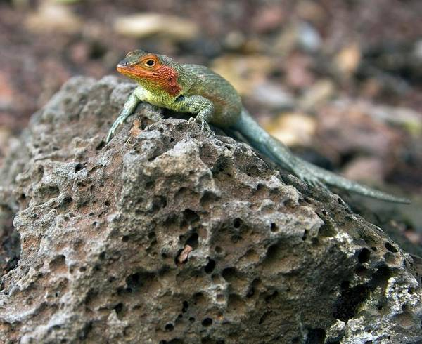 Santa Cruz Island Wall Art - Photograph - Lava Lizard by Steve Allen/science Photo Library