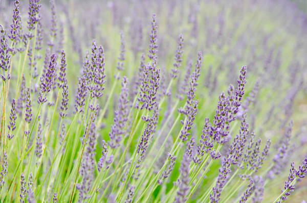 Photograph - Lavender 1 by Rob Huntley