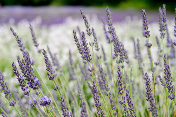 Photograph - Lavender 2 by Rob Huntley