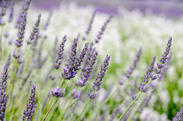 Photograph - Lavender 3 by Rob Huntley