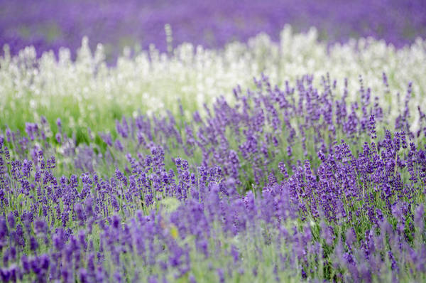 Photograph - Lavender 4 by Rob Huntley