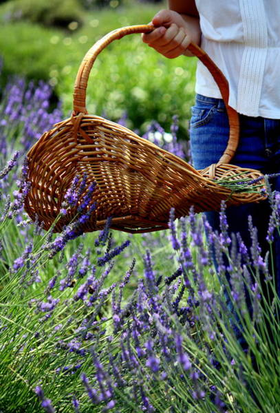 Lavender And Basket Art Print