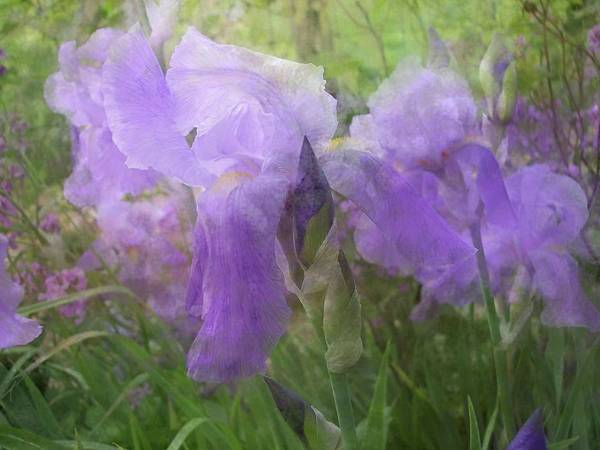 Photograph - Lavender Blue Iris Garden by Mary Wolf