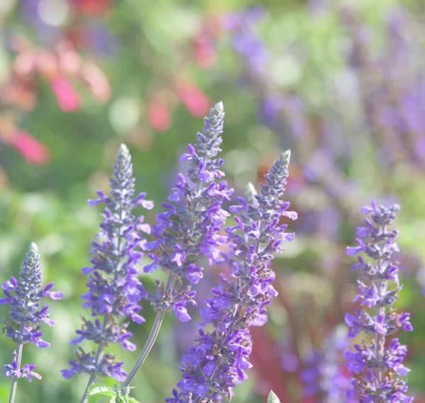 Photograph - Lavender Bokeh Magic by Kim Hojnacki