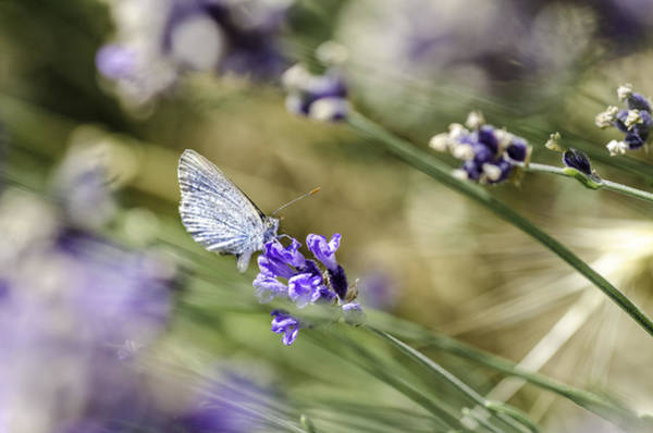 Macor Photograph - Lavender Butterfly by Jessy Willemse