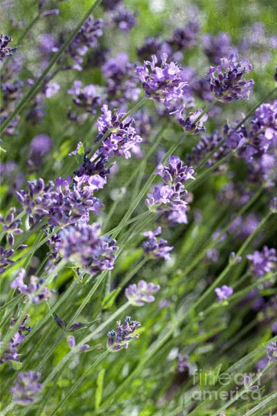 Photograph - Lavender by Cindy Singleton