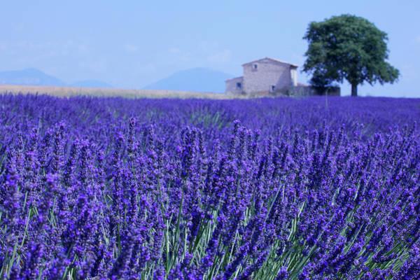 Threat Photograph - Lavender Field Under Threat by Meriel Lland