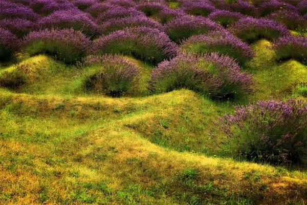 Photograph - Lavender Fields by Michelle Calkins