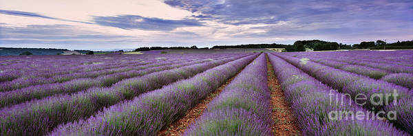 English Countryside Photograph - Lavender Fields by Rod McLean