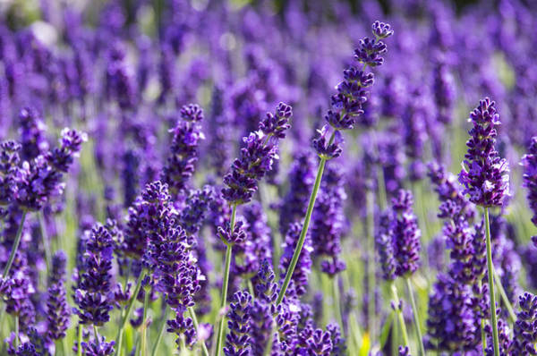 Photograph - Lavender Fields by Ross G Strachan