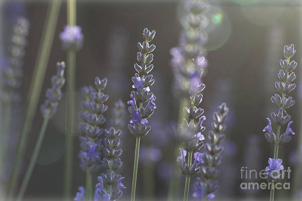 Photograph - Lavender Flare. by Clare Bambers