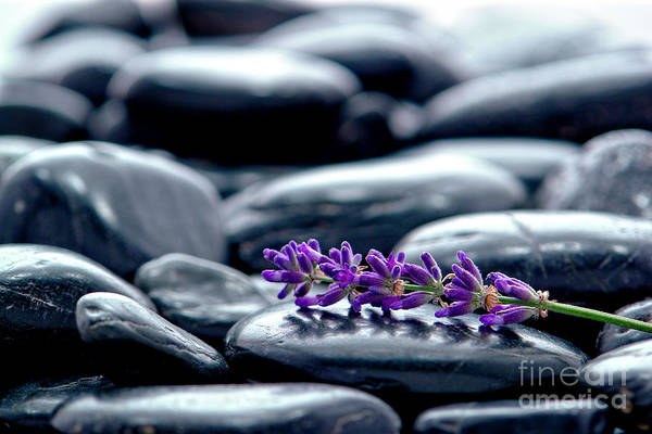 Photograph - Lavender Flower Wisp by Olivier Le Queinec