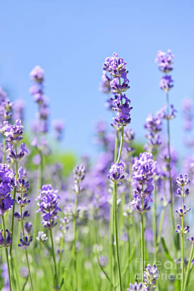 Herbs Photograph - Lavender Flowering by Elena Elisseeva