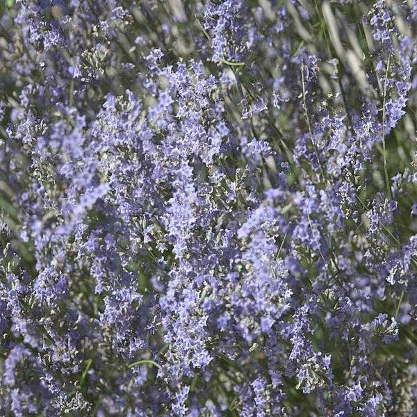 Beautiful Wall Art - Photograph - #lavender by Georgia Fowler