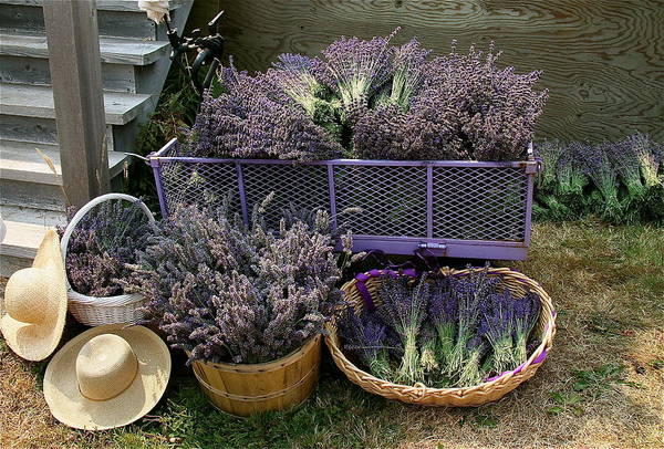 Mixed Media - Lavender Harvest by Alicia Kent