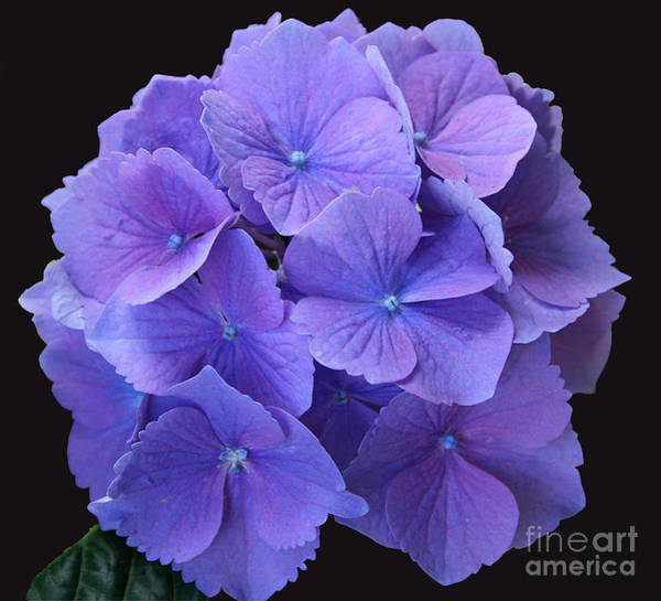 Photograph - Lavender Hydrangea by Karen Adams