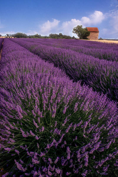 Photograph - Lavender In Provence by Matthew Pace